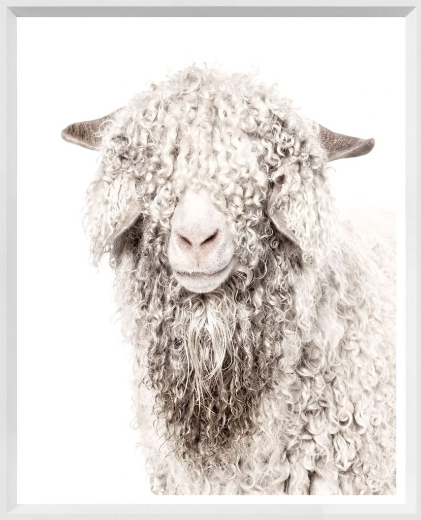 Potrait of an angora goat; its curly hair covers its eyes.