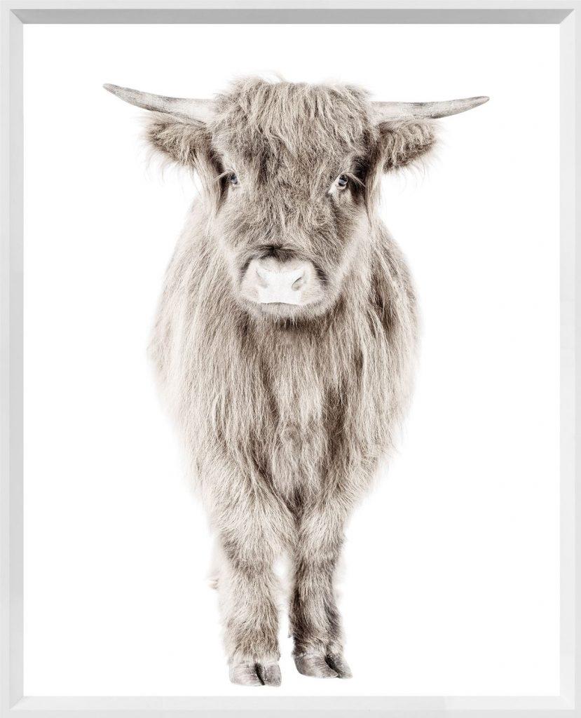 An adorable photo of a highland calf.