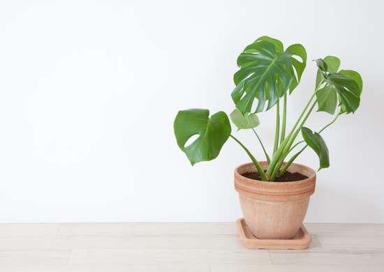 A monstera plant.
