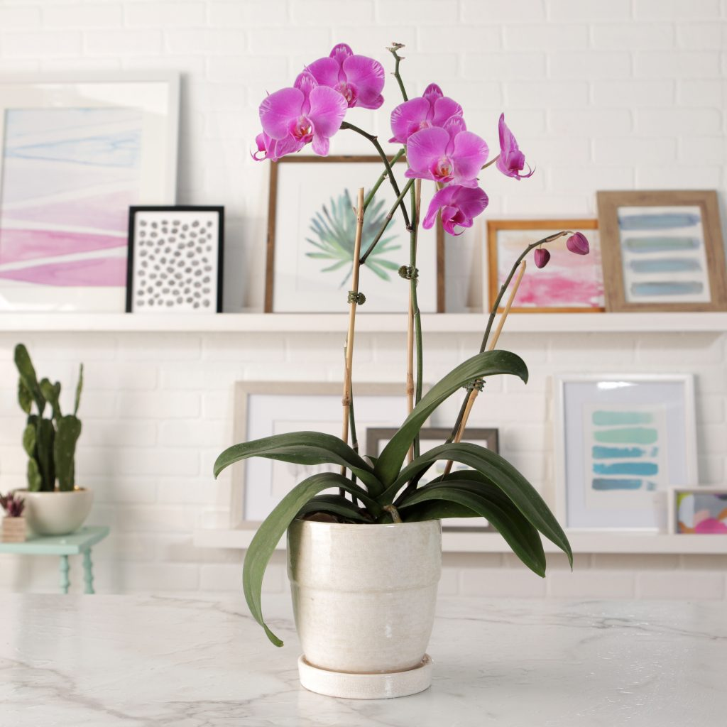 A fuschia colored orchid with framed photos in the background.